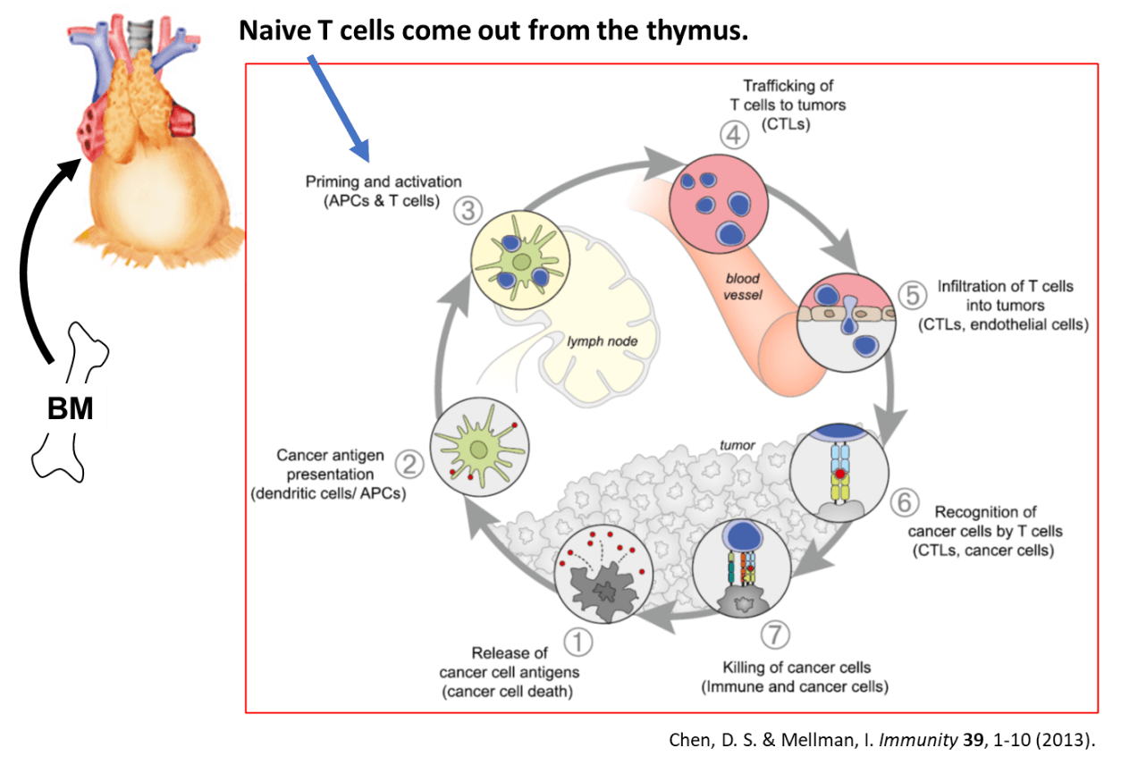 Naive T cells come out fromthe thymus.