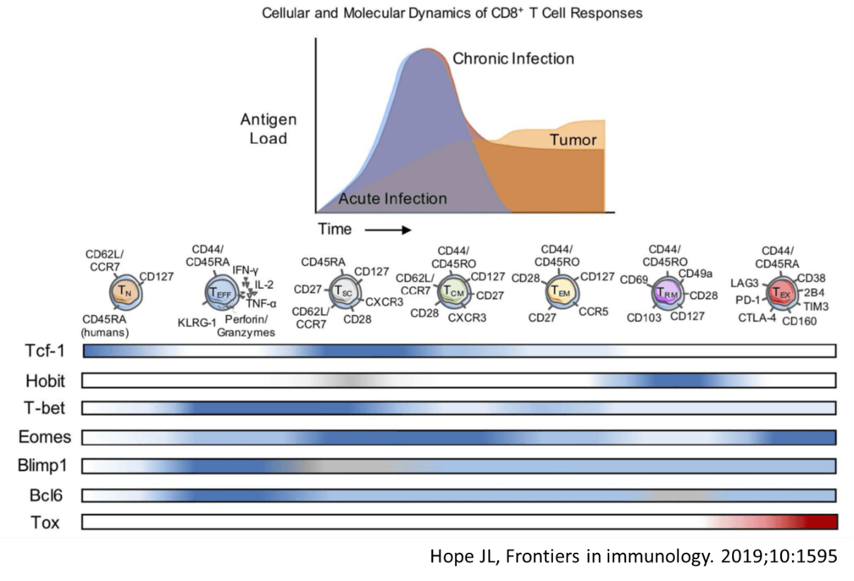 Cellular and Molecular Dynamics of CD8+ T Cell Responses